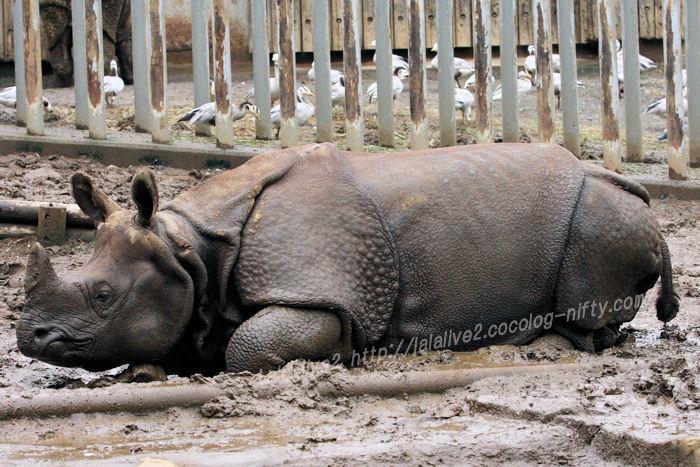 Rhinoceros20150831