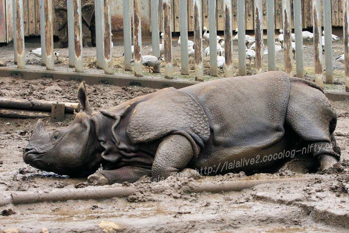 Rhinoceros201508311