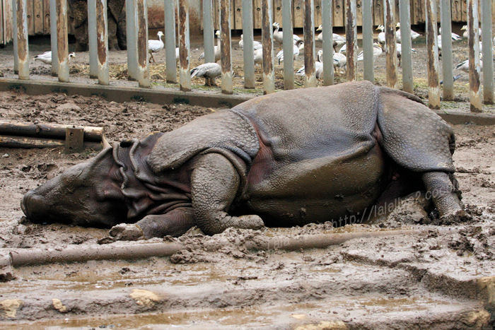 Rhinoceros201508312