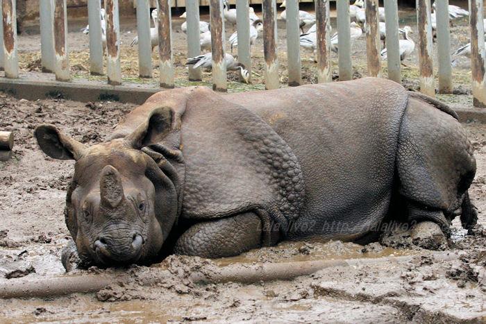 Rhinoceros201508314