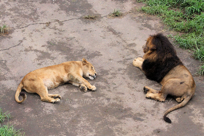 Lions20150831
