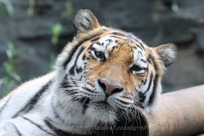 Tigerai201508311
