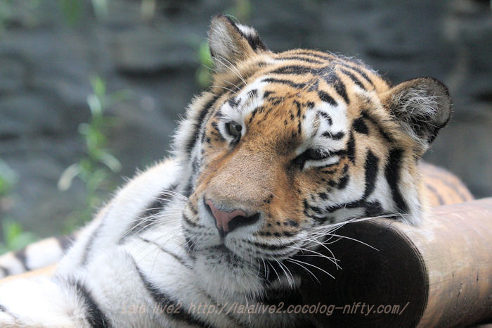 Tigerai20150831_2