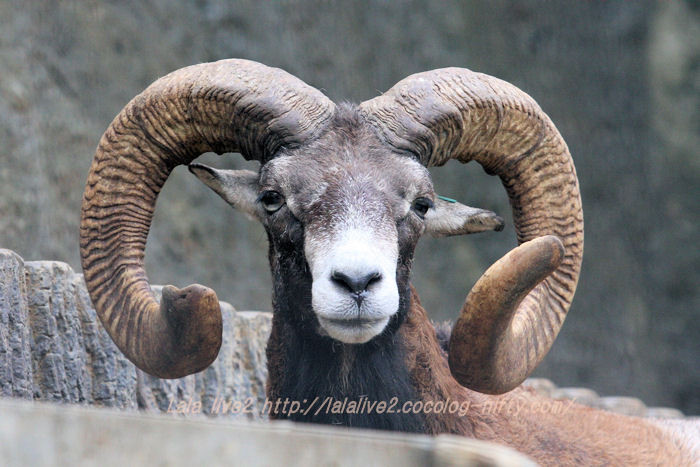 Mouflon20150831