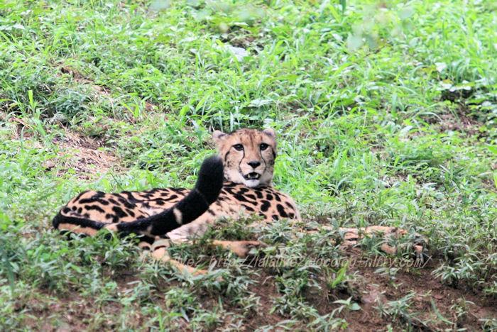 Cheetah201508311