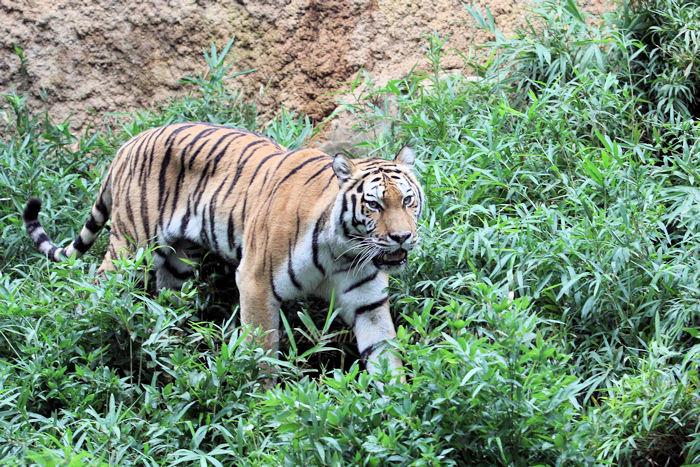 Tigerai201508313