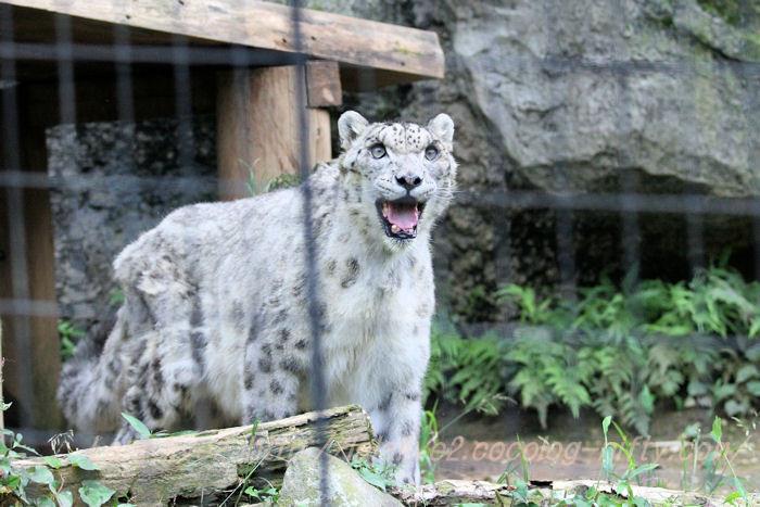 Shynghyzsnowleopard20140630
