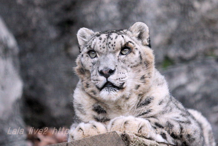 Shynghyzsnowleopard20141215