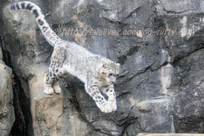 Shynghyzsnowleopard201412151