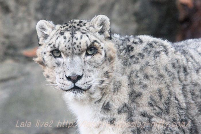 Shynghyzsnowleopard201412152