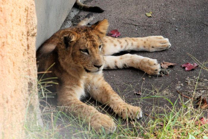 Lion20151020