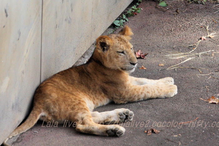 Lion201510201