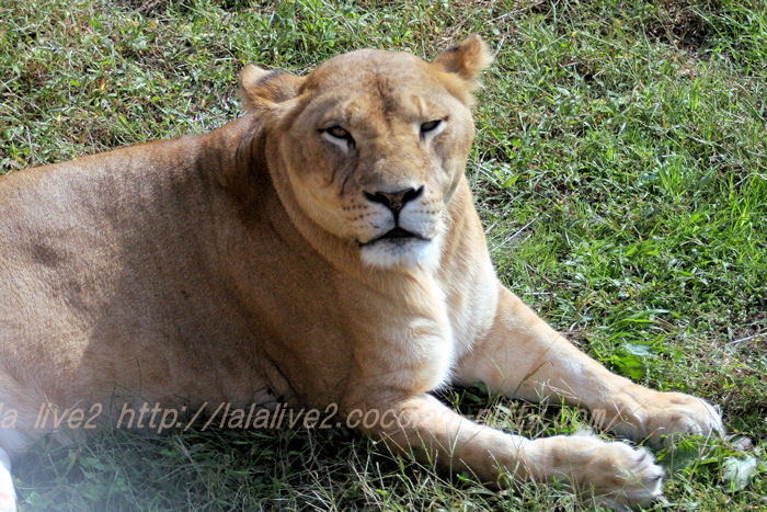 Lioness20151020_2