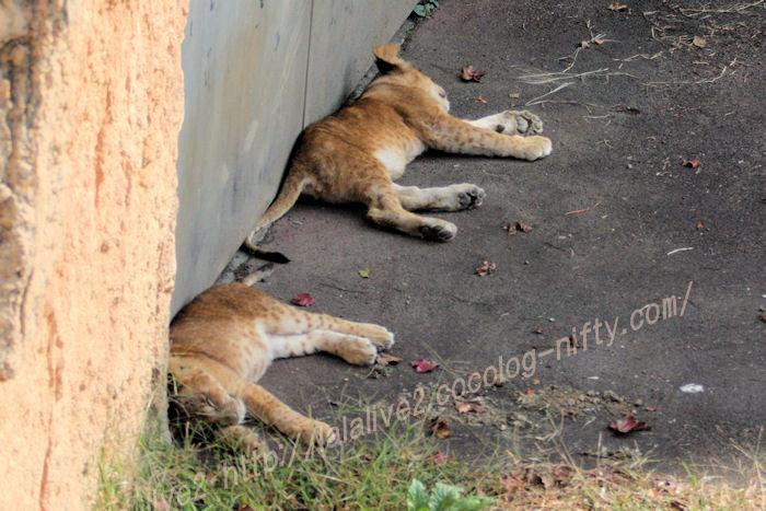 Lions20151020