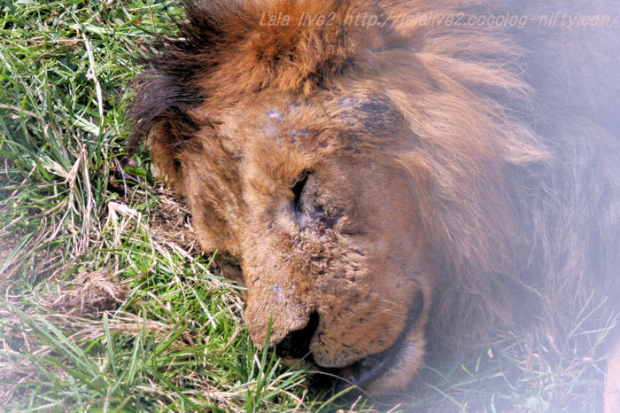 Lion2015102011