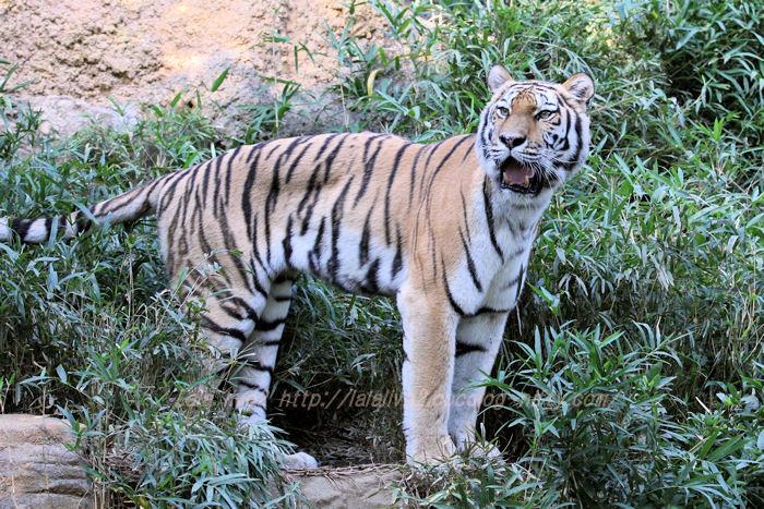 Tigershizuka20151020