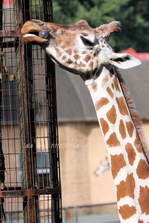 Giraffe20151020