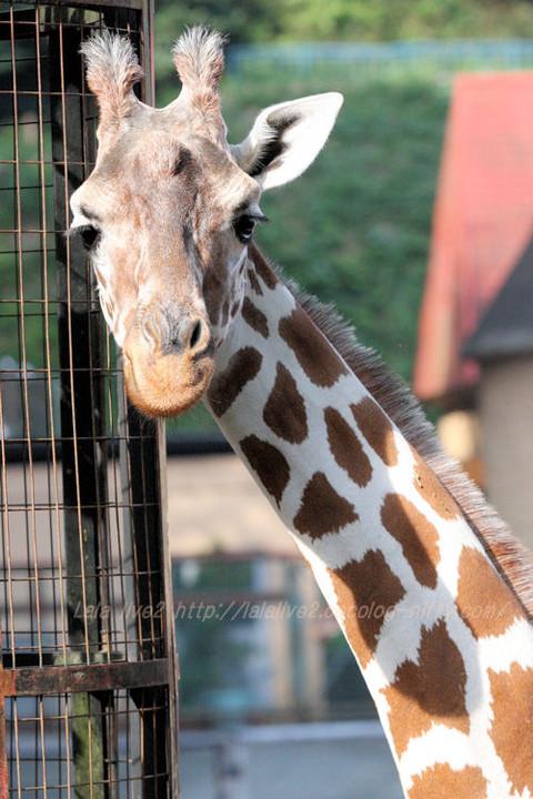 Giraffe201510202