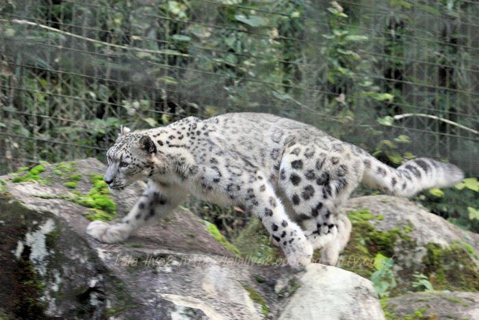 Snowleopard201510201