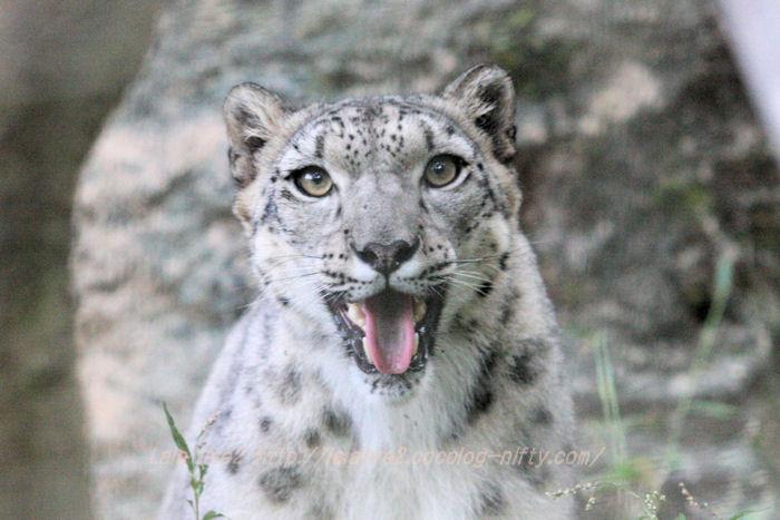 Snowleopard20151020asahi