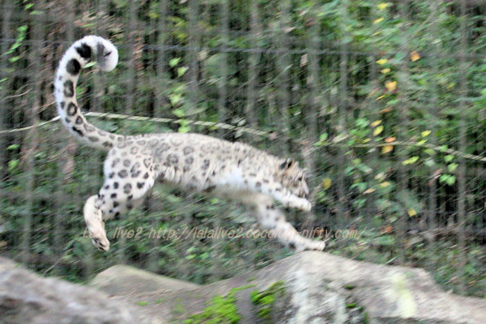 Snowleopard20151020ju