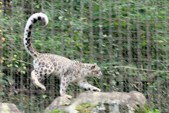 Snowleopard20151020m
