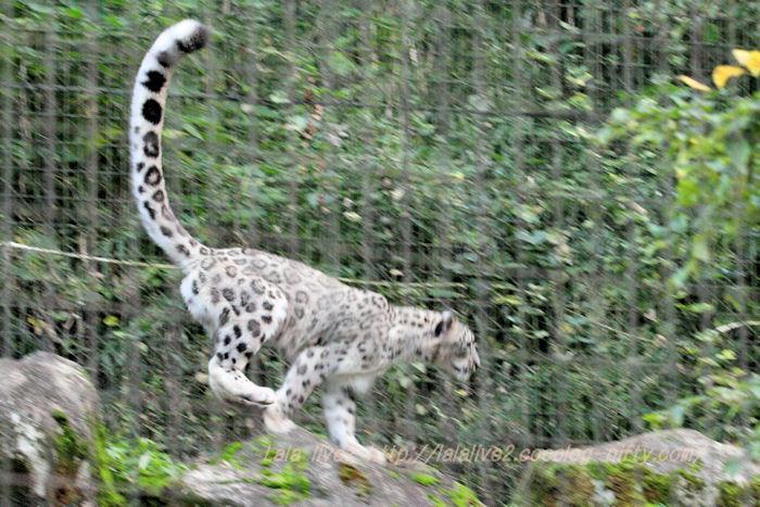 Snowleopard20151020p