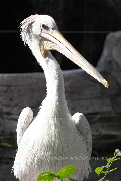 Pelican201510201