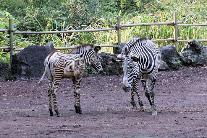 Zebra20151020