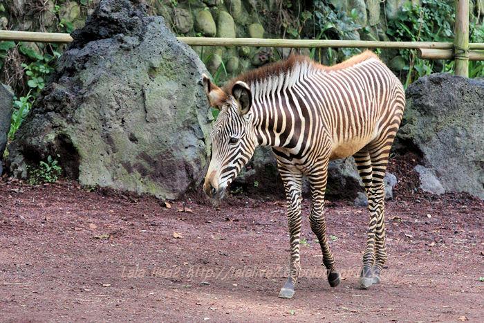 Zebra201510201