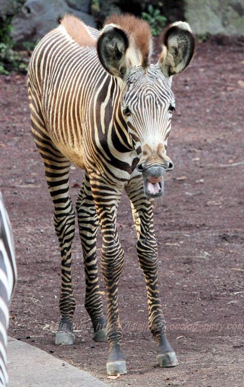 Zebra201510203