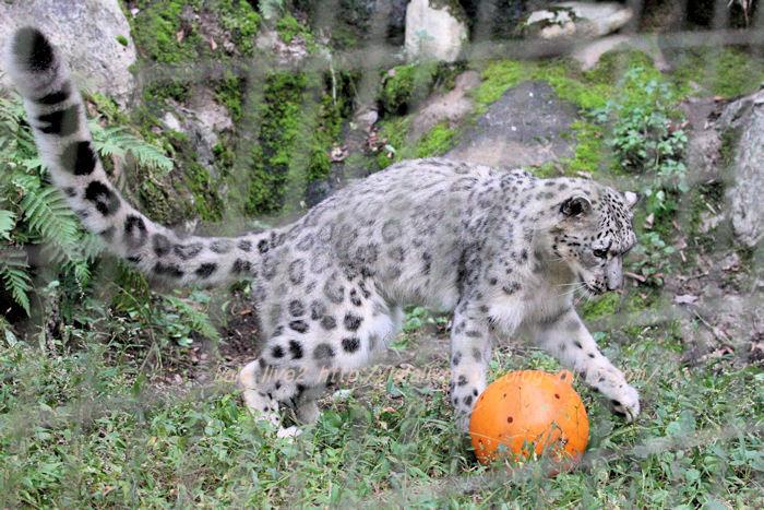 Snowleopard20151020a