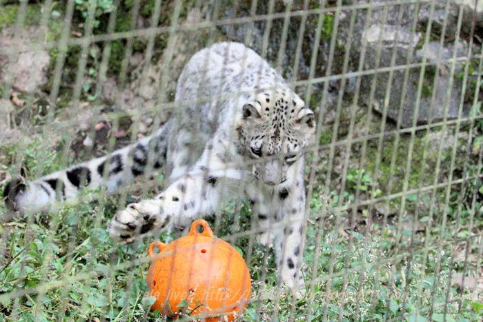 Snowleopard20151020a1