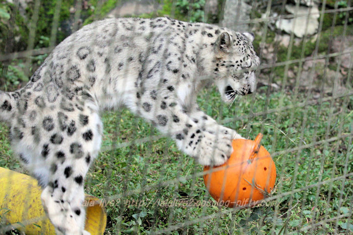 Snowleopard20151020a2