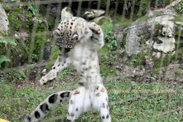Snowleopard20151020a3