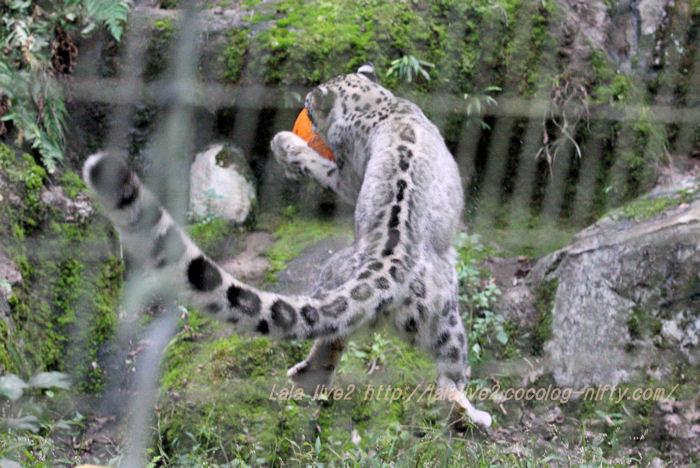 Snowleopard20151020a4