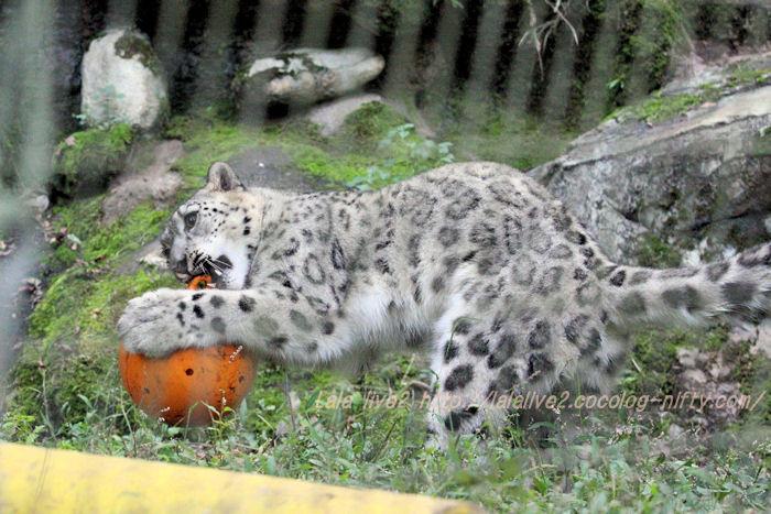 Snowleopard20151020a5