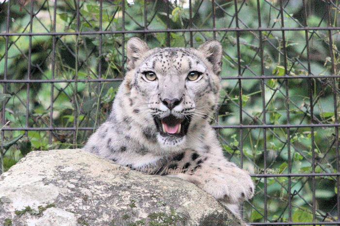 Snowleopard20151020a7