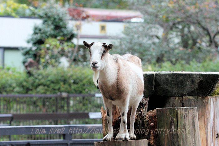 Goat20151117_2