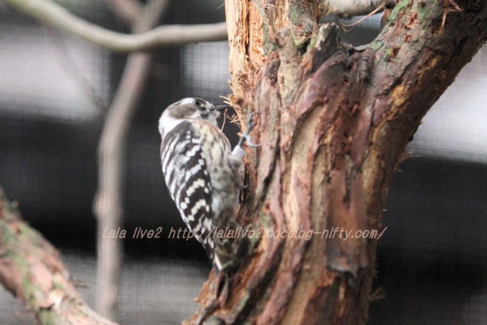 Japanese_pygmy_woodpecker20151117