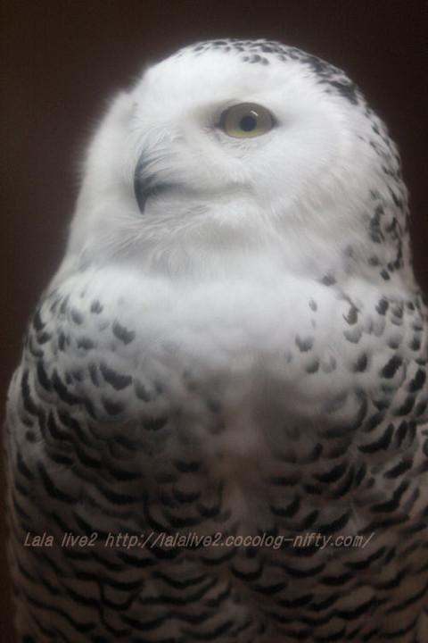 White_owl20151117