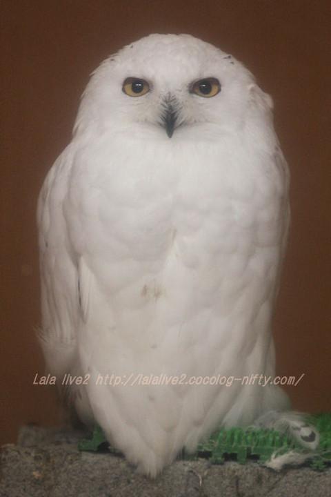 White_owl201511171