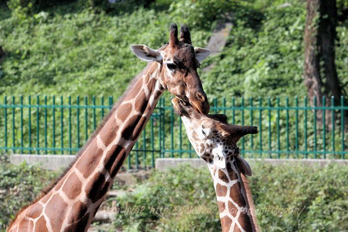 Giraffes20151020