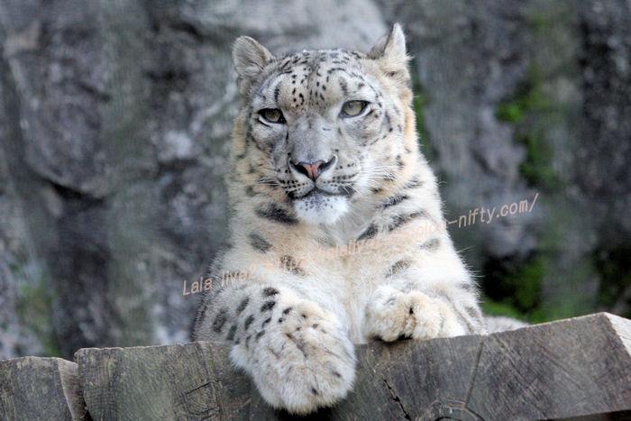 Snowleopard20151020miru