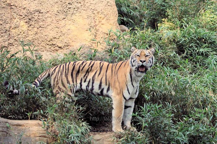 Tigershizuka201510201