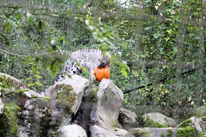 Snowleopard_2015102010