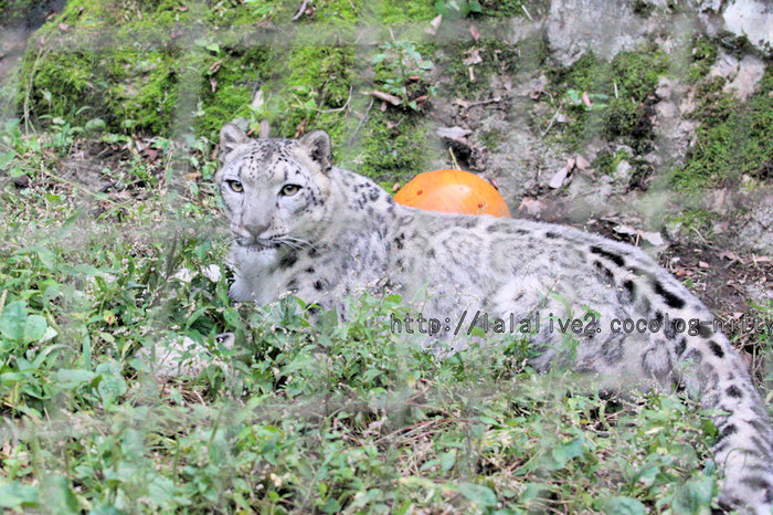 Snowleopard_2015102012