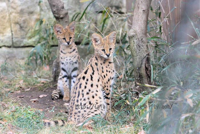 Serval_babys20160106_2