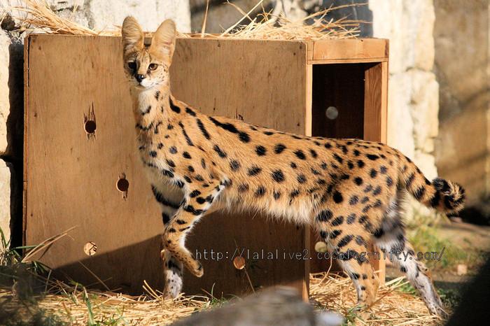 Serval_cat20160106