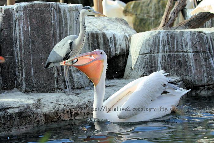Pelican201601061